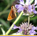Common Skipper