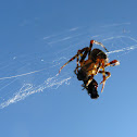 Pumpkin Spider, Fly