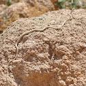 Schokari Sand Snake