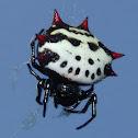 Crablike Spiny Orbweaver Spider
