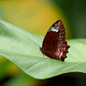 The Common Palmfly