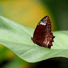 The Common Palmfly