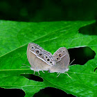 The Dingy Bush Brown Butterfly