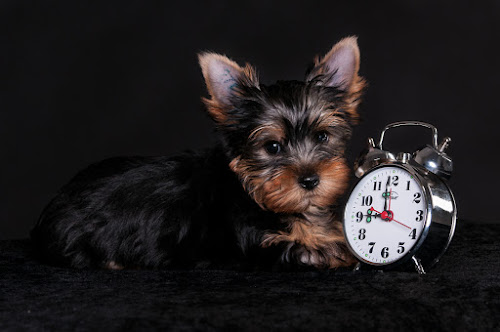 Born 9 weeks ago by Martin Zenisek - Animals - Dogs Puppies ( alarm clock, color, puppy, jorkshire terier, dog, black,  )