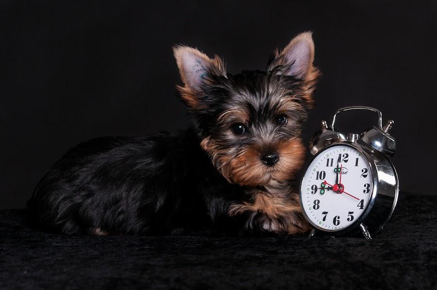 Born 9 weeks ago by Martin Zenisek - Animals - Dogs Puppies ( alarm clock, color, puppy, jorkshire terier, dog, black,  )