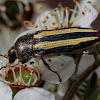 Banded Jewel beetle