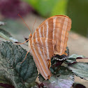 Palm King Butterfly