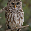Barred Owl (male)