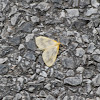 Beggar Moth