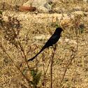 Black Drango