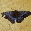 Black Witch Moth (female)