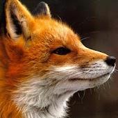 Reclamo zorro para caza
