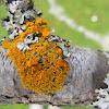 Xanthoria (cup lichen)
