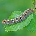 Oak Eggar caterpillar