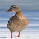 Mallard- Hen
