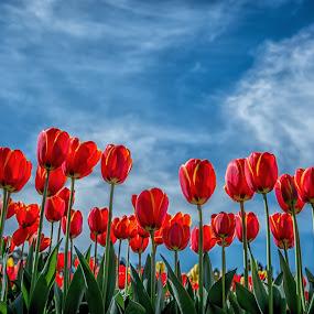 Tulips bug eye view by Zubair Aslam - Flowers Flower Arangements ( color, melbourne, colors, tulip, composition, flow, tulips, flowers, flower,  )