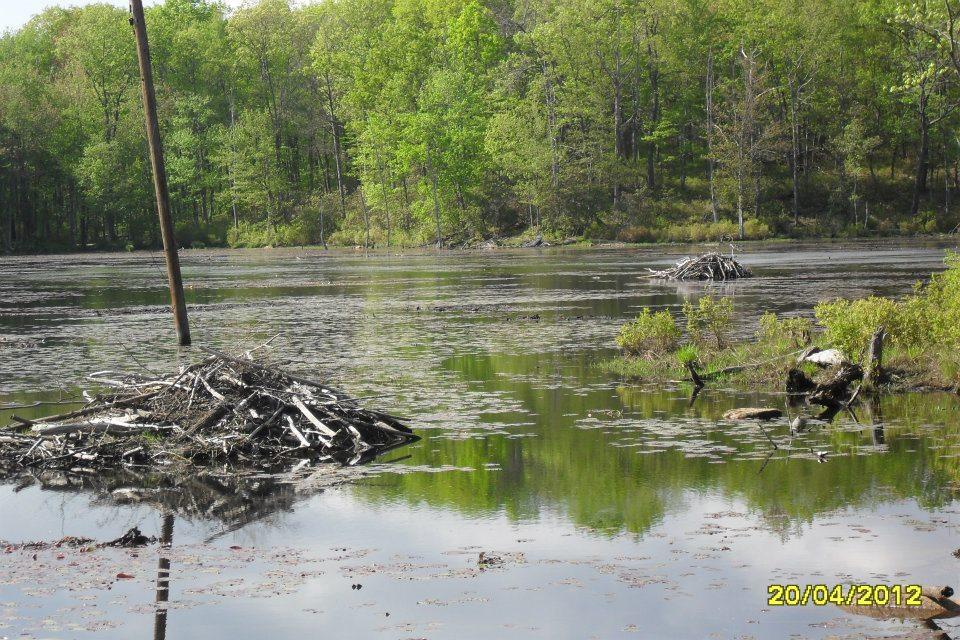 Dams of North American Beaver