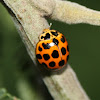Large spotted ladybird beetle