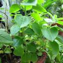 Cuban oregano