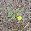 Common dandelion (Πικραλίδα)