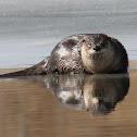North America river otter