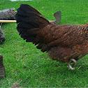 Styrian chicken