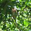 Red-breasted Parakeet Psittacula alexandri