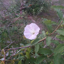 Wild Morning Glory/ Bindweed