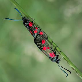 Mating Burnett moths by Dave Angood - Animals Insects & Spiders ( nature, burnett moths, insects, insect, bokeh, moths )