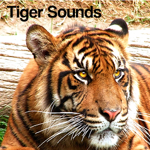 Tiger Sound Effects ~ Royalty Free Tiger Sounds | Pond5