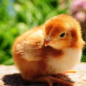 chick-8.jpg