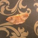 female saturnidae