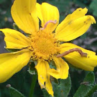 Loopers on coreopsis