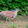 Malay night heron