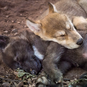 Sleeping Wolf Puppies by Jay Huron - Animals Other Mammals ( puppies, gray wolf, wolf, cubs, sleeping, canis lupus, animal, sleep, rest, resting,  )