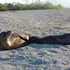 Galapagos sea lion (nursing females)