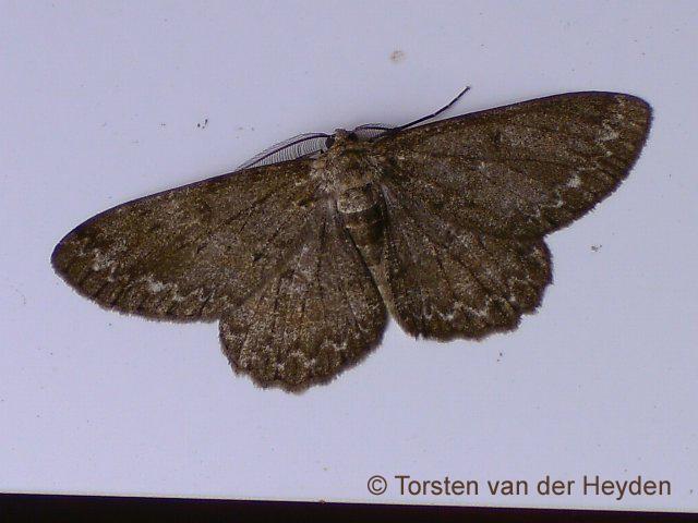 Pale Oak Beauty (male)
