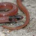 Rim Rock Crowned Snake