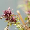 Marsh lousewort