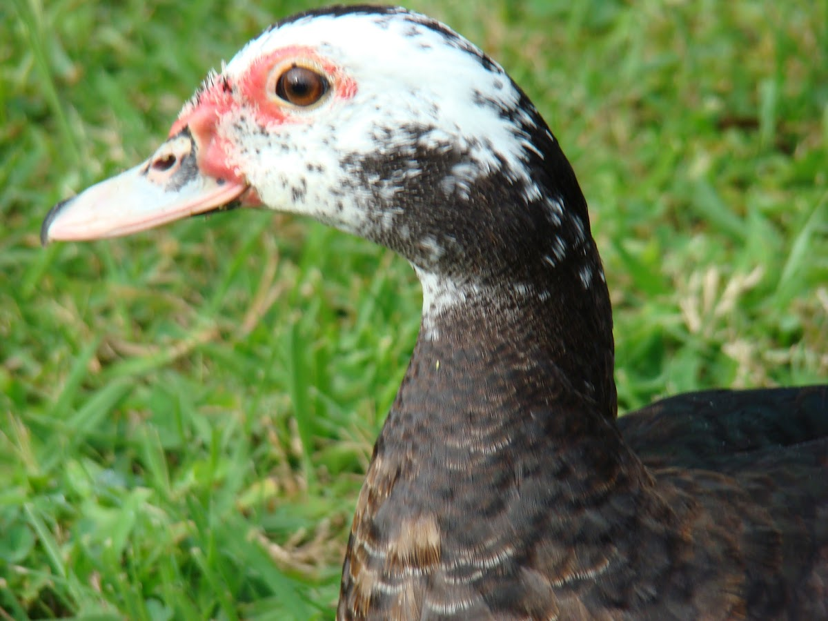 Domesticated Muscovy Duck