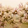 Purple Meadow Rue