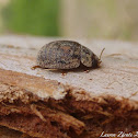 Australian Eucalyptus Leaf Beetle in California