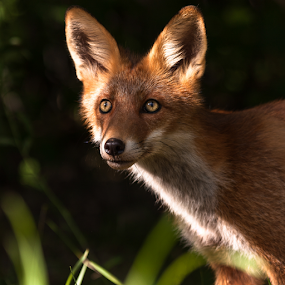 Foxy face by Eriks Zilbalodis - Animals Other Mammals ( face, fox, nature, portret, animal )