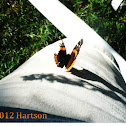 Curious Red Admiral