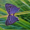 Five Ring butterfly