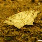 Large lace border moth