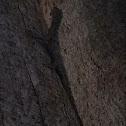 Gliding Lizard