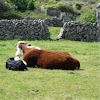 Vaca y ternero. Cow and calf