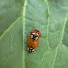 Multicolored Asian Ladybeetle.