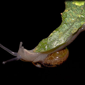 Reaching for the Unkown by Siggy In Costa Rica - Animals Other ( black background, tropical, snail, mollusk,  )